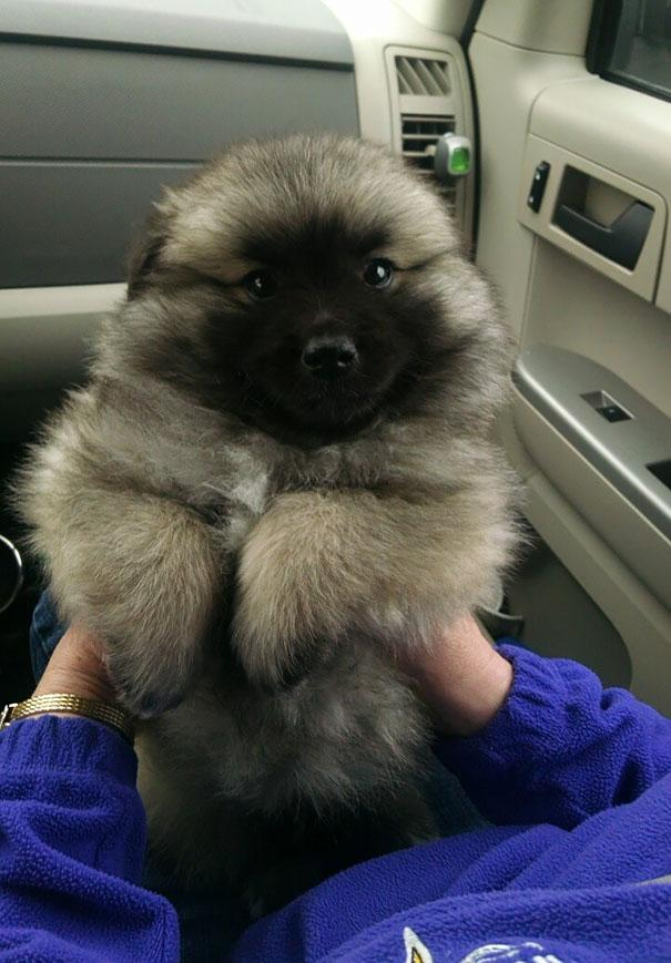 Let's look at a German Shepherd Akita Corgi Mix dog and see how cute it is